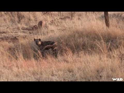 Hunting Big Hyena in Africa