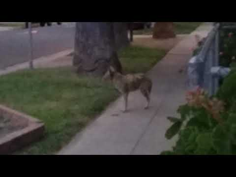 Coyote cuaght close