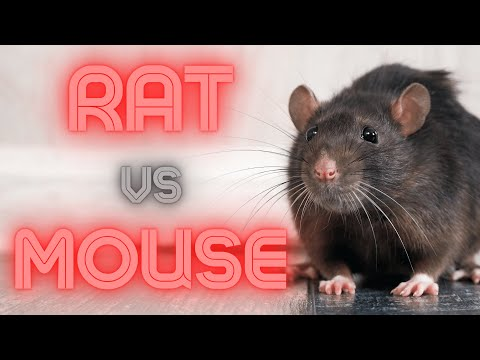 Rat Vs Mouse (How To Identify & Remove)