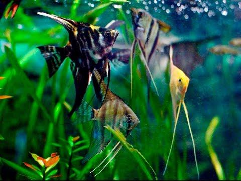 Species Profile # 30 : The Angelfish (Pterophyllum Scalare)
