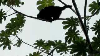 Howler Monkeys/Placencia Monkey River