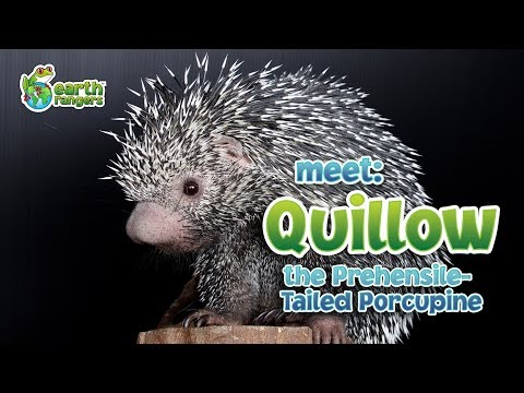Meet Animal Ambassador Quillow the Prehensile Tailed Porcupine