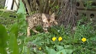 Бенгальский котёнок, продажа в Минске