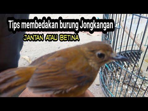 Tips Membedakan Burung Jongkangan Coklat Jantan Atau Betina Youtube
