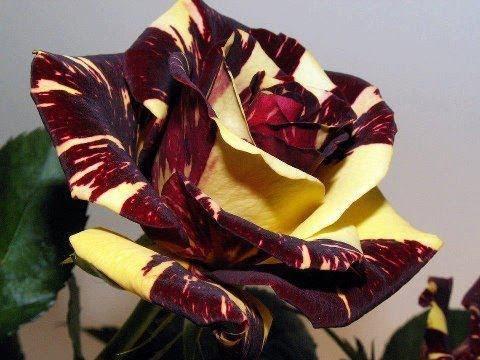 Flor de luna pasion natural flores plantas dise os de - Jardines y plantas ...