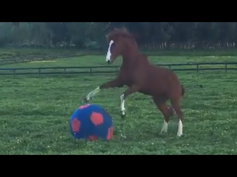 Horse Plays With Giant Squishy Ball