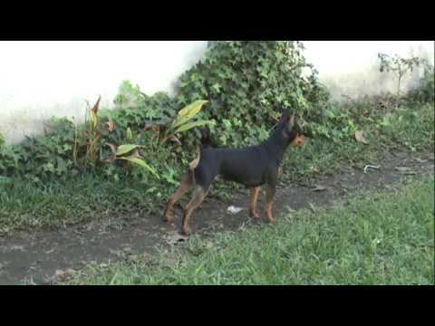 Venta de perros raza pastor aleman en lima