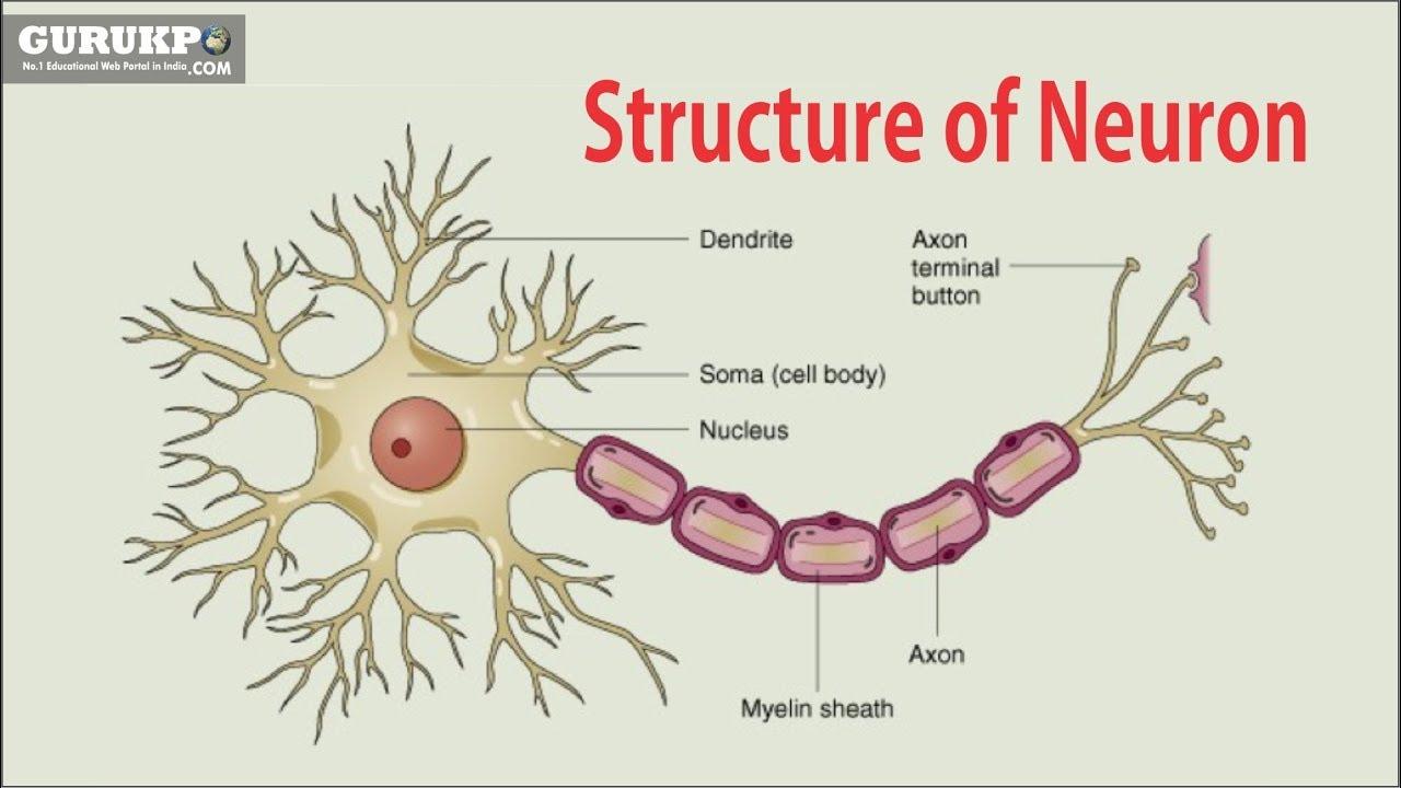 medium resolution of structure of neuron b sc m sc physiology gurukpo