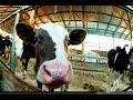 Едем покупать барана. Курдючная порода овец. Обзор фермы
