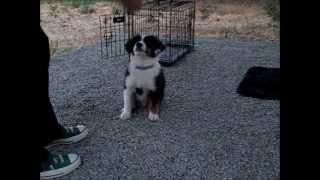 Cooper At Night - Adorable All-star Mini Aussie - Puppy Training Video Www.allstarminiaussies.com