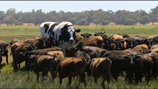 Knickers, la vache XXL