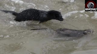 AWESOME 2Mink Hunting Muskrats (Hush Colab)