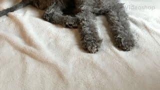3477 Bedlington Terrier