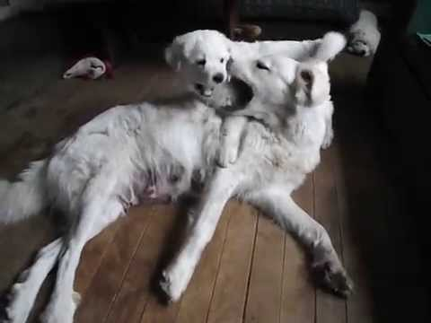 Maremma x Pyrenees livestock guard dog teaches a puppy some manners - Old Man Farm