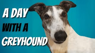 A day in the life of retired Greyhound -Morning, Noon and Night