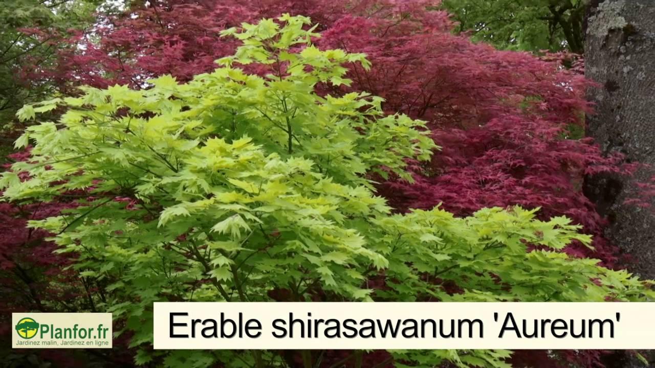 Erable Du Japon Petit des érables du japon pour une lisière colorée et luxuriante