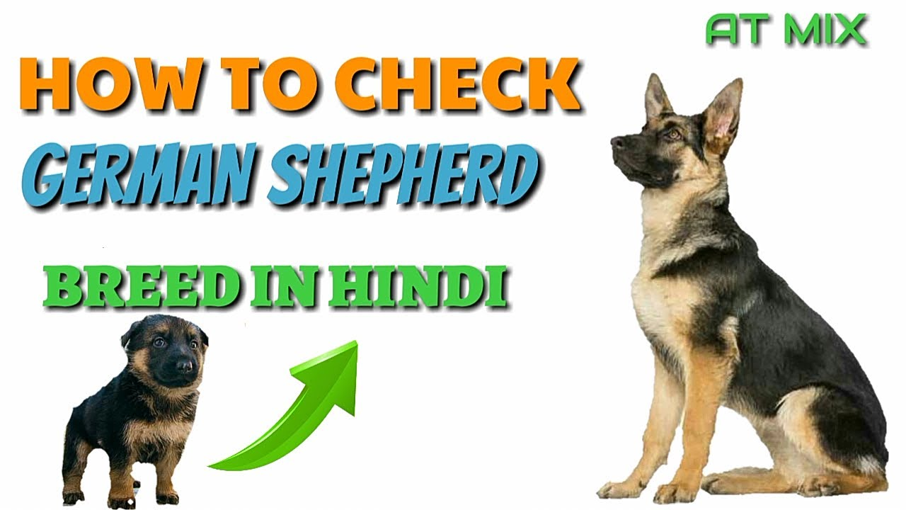German shepherd puppy diet chart in hindi food for dogs recipe how to check pure german shepherd breed in hindi know your breed nvjuhfo Choice Image