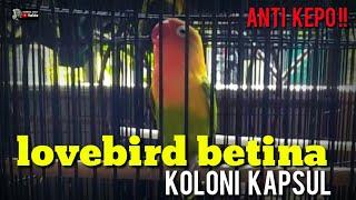 Download lagu STEP KOLONI LOVEBIRD BETINA DENGAN UNTULAN ANTI KEPO