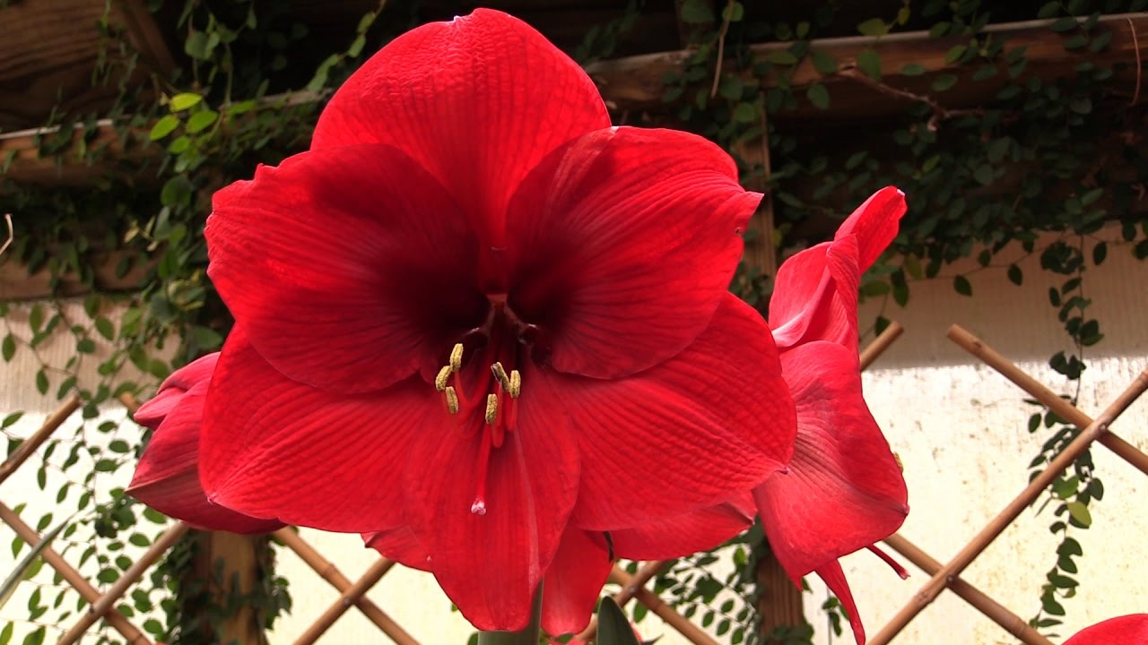 how to make your amaryllis bloom again youtube
