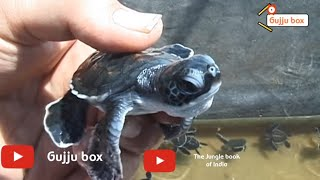 Sea turtle Madhavpur | Turtle Hatchery Madhavpur | baby sea turtles | turtle hatch | wildlife
