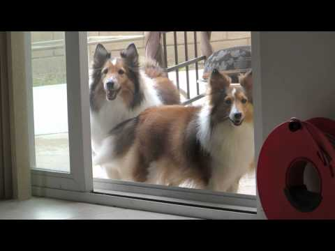 The sheltie pack wants to come in