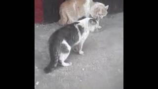 Коты ругают друг друга матом по кошачьи!