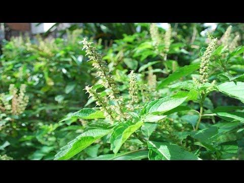 Os 10 Benefícios da Alfavaca Para Saúde!   Dicas de Saúde