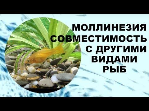 Моллинезия: Совместимость с другими видами аквариумных рыб.
