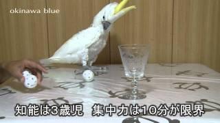 アオメキバタン♂ オウムに芸「玉入れ」を教えます