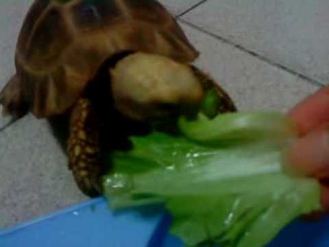 My 緬甸象龜 Elongated tortoise (Burmese tortoise)