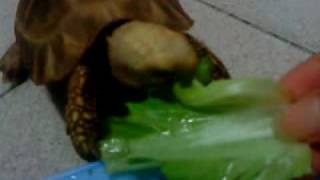 My 緬甸象龜 Elongated tortoise (Burmese tortoise)