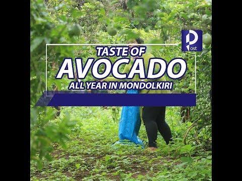 Get the taste of avocados all year in Mondulkiri