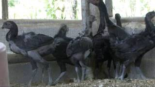 ไก่ดำภูพาน - การจัดการไก่ดำภูพาน