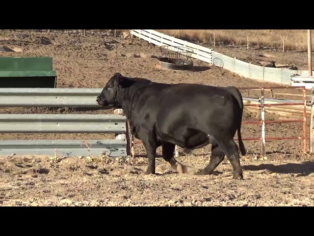 Connealy Angus Lot 221