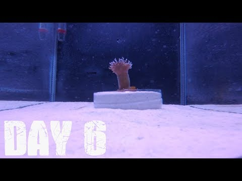 How Fast Does Corals Grow? Day 6 (Algae Growth)