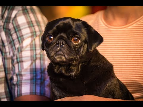 Happy Tails From Pacific Pug Rescue