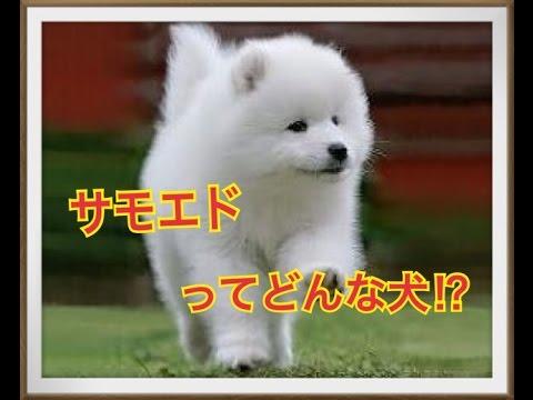 【かわいいペット】サモエドってどんな犬!?