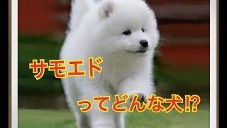 ペットで犬を飼おうと迷っている方へ〜サモエド〜 世の中には様々な犬種...
