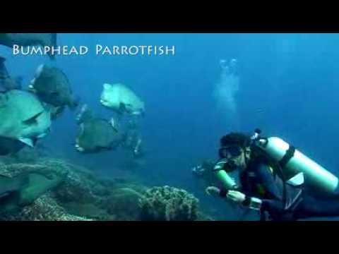 Huge School Of Bumphead Parrotfish