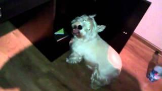 White Terrier Moj Pies Xd Cz.3