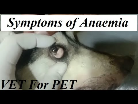 Symptoms of Anaemia in Dogs ||VET For PET||