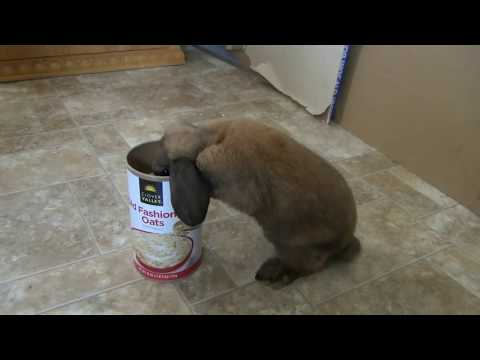 Small Fuzzy Holland Lop Stealing My Oatmeal