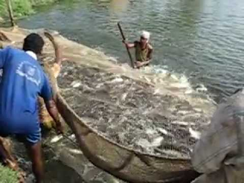 Harvest of indian carps india youtube for Koi pond india