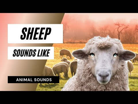 The Animal Sounds: Sheep Noises - Sound Effect - Animation