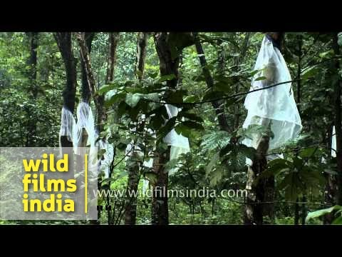 Rubber cultivation in Kerala, India