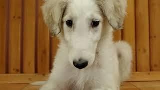 里親募集犬です。詳しくは下記ホームページまで http://www.pets-hop.com/