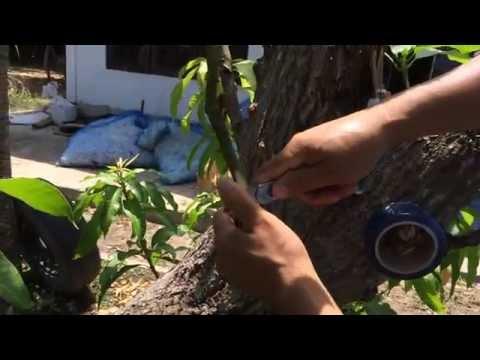 เปลี่ยนยอดมะม่วง ๑ ต้น ให้มีหลายสายพันธุ์ โทร.0819846526