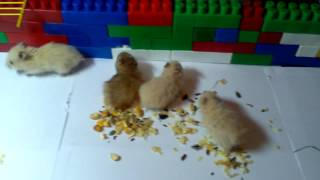 Эксперимент с хомячками (часть 1)