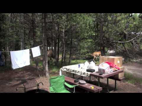 Elk In Our Campsite - Yellowstone 2014