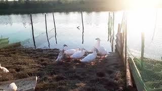 # 53 Краткий  обзор - птичье царство #куры,гуси,утки,индюки